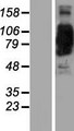 Coronin 7 / CORO7 Protein - Western validation with an anti-DDK antibody * L: Control HEK293 lysate R: Over-expression lysate