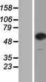 CPNE7 Protein - Western validation with an anti-DDK antibody * L: Control HEK293 lysate R: Over-expression lysate