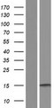 CREBL2 Protein - Western validation with an anti-DDK antibody * L: Control HEK293 lysate R: Over-expression lysate