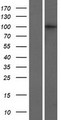 CRNKL1 Protein - Western validation with an anti-DDK antibody * L: Control HEK293 lysate R: Over-expression lysate