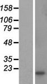 CSHL1 / CSH-Like 1 Protein - Western validation with an anti-DDK antibody * L: Control HEK293 lysate R: Over-expression lysate