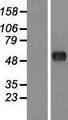 CSRNP2 / FAM130A1 Protein - Western validation with an anti-DDK antibody * L: Control HEK293 lysate R: Over-expression lysate