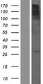 CTA-216E10.6 Protein - Western validation with an anti-DDK antibody * L: Control HEK293 lysate R: Over-expression lysate