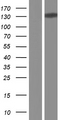 CTCF Protein - Western validation with an anti-DDK antibody * L: Control HEK293 lysate R: Over-expression lysate