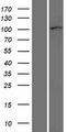 CTNND1 / p120 Catenin Protein - Western validation with an anti-DDK antibody * L: Control HEK293 lysate R: Over-expression lysate