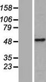 CWC25 Protein - Western validation with an anti-DDK antibody * L: Control HEK293 lysate R: Over-expression lysate