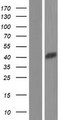 CXorf66 Protein - Western validation with an anti-DDK antibody * L: Control HEK293 lysate R: Over-expression lysate