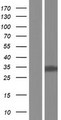 CYB5D2 Protein - Western validation with an anti-DDK antibody * L: Control HEK293 lysate R: Over-expression lysate