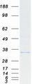 CYB5R1 Protein - Purified recombinant protein CYB5R1 was analyzed by SDS-PAGE gel and Coomassie Blue Staining