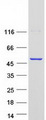 Purified recombinant protein CYTH3 was analyzed by SDS-PAGE gel and Coomassie Blue Staining