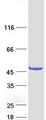 CYTH4 / PSCD4 Protein - Purified recombinant protein CYTH4 was analyzed by SDS-PAGE gel and Coomassie Blue Staining