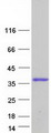 DBNDD2 Protein - Purified recombinant protein DBNDD2 was analyzed by SDS-PAGE gel and Coomassie Blue Staining