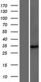 DCUN1D4 Protein - Western validation with an anti-DDK antibody * L: Control HEK293 lysate R: Over-expression lysate