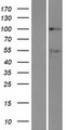 DDX10 Protein - Western validation with an anti-DDK antibody * L: Control HEK293 lysate R: Over-expression lysate
