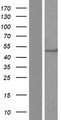 DDX19B Protein - Western validation with an anti-DDK antibody * L: Control HEK293 lysate R: Over-expression lysate