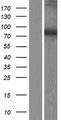 DDX51 Protein - Western validation with an anti-DDK antibody * L: Control HEK293 lysate R: Over-expression lysate