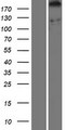 DDX60 Protein - Western validation with an anti-DDK antibody * L: Control HEK293 lysate R: Over-expression lysate