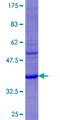 12.5% SDS-PAGE of human DEFA6 stained with Coomassie Blue