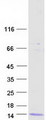 DEFB106A Protein - Purified recombinant protein DEFB106A was analyzed by SDS-PAGE gel and Coomassie Blue Staining