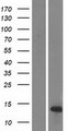 DEFB108B Protein - Western validation with an anti-DDK antibody * L: Control HEK293 lysate R: Over-expression lysate