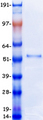DEK Protein - Purified recombinant protein DEK was analyzed by SDS-PAGE gel and Coomassie Blue Staining