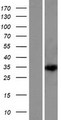 DEPDC4 Protein - Western validation with an anti-DDK antibody * L: Control HEK293 lysate R: Over-expression lysate