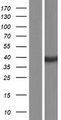 DHRS7 Protein - Western validation with an anti-DDK antibody * L: Control HEK293 lysate R: Over-expression lysate