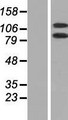 DHX16 / DBP2 Protein - Western validation with an anti-DDK antibody * L: Control HEK293 lysate R: Over-expression lysate