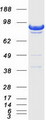 Purified recombinant protein DLG3 was analyzed by SDS-PAGE gel and Coomassie Blue Staining