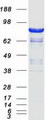 DLG4 / PSD95 Protein - Purified recombinant protein DLG4 was analyzed by SDS-PAGE gel and Coomassie Blue Staining
