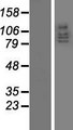 DLG5 Protein - Western validation with an anti-DDK antibody * L: Control HEK293 lysate R: Over-expression lysate