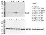DLL1 Protein - Induction of Hes-1 with the treatment of recombinant human DLL1-Fc (Prod. No. AG-40A-0116Y). A mouse preadipocyte cell line, 3T3L1, was stimulated with 5ug/ml of human DLL1-Fc as in indicated time points and each cell lysate was prepared and subjected to western blot by using anti-mouse Hes1 or GAPDH.