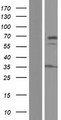 DNAJC11 Protein - Western validation with an anti-DDK antibody * L: Control HEK293 lysate R: Over-expression lysate
