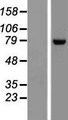DNAJC14 Protein - Western validation with an anti-DDK antibody * L: Control HEK293 lysate R: Over-expression lysate