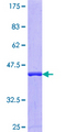 DNAJC2 / ZRF1 Protein - 12.5% SDS-PAGE Stained with Coomassie Blue.