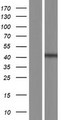 DNAJC25 Protein - Western validation with an anti-DDK antibody * L: Control HEK293 lysate R: Over-expression lysate