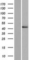 DNAJC28 Protein - Western validation with an anti-DDK antibody * L: Control HEK293 lysate R: Over-expression lysate