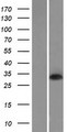 DNASE1L2 Protein - Western validation with an anti-DDK antibody * L: Control HEK293 lysate R: Over-expression lysate