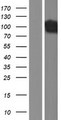 DNM1 / Dynamin Protein - Western validation with an anti-DDK antibody * L: Control HEK293 lysate R: Over-expression lysate