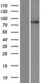 DPY19L4 Protein - Western validation with an anti-DDK antibody * L: Control HEK293 lysate R: Over-expression lysate