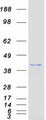 Purified recombinant protein DUSP4 was analyzed by SDS-PAGE gel and Coomassie Blue Staining