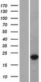 DUX3 Protein - Western validation with an anti-DDK antibody * L: Control HEK293 lysate R: Over-expression lysate