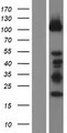 DZIP1 Protein - Western validation with an anti-DDK antibody * L: Control HEK293 lysate R: Over-expression lysate