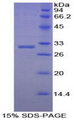 EBF2 Protein - Recombinant Early B-Cell Factor 2 By SDS-PAGE