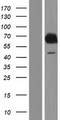 EBF4 Protein - Western validation with an anti-DDK antibody * L: Control HEK293 lysate R: Over-expression lysate