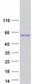 EBF4 Protein - Purified recombinant protein EBF4 was analyzed by SDS-PAGE gel and Coomassie Blue Staining