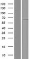 EIF2B4 Protein - Western validation with an anti-DDK antibody * L: Control HEK293 lysate R: Over-expression lysate