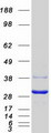 Purified recombinant protein EIF4E2 was analyzed by SDS-PAGE gel and Coomassie Blue Staining