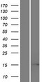 EIF5AL1 Protein - Western validation with an anti-DDK antibody * L: Control HEK293 lysate R: Over-expression lysate