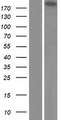 EML5 Protein - Western validation with an anti-DDK antibody * L: Control HEK293 lysate R: Over-expression lysate